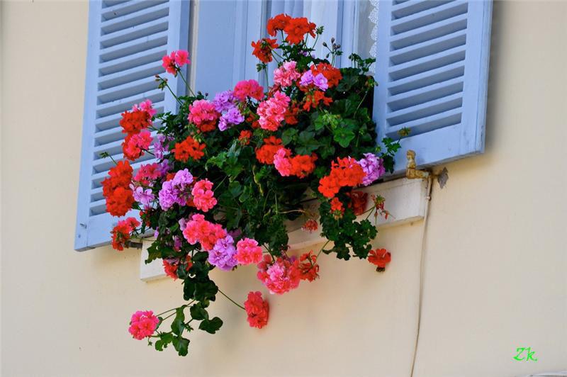 Geran_na_balkone_--