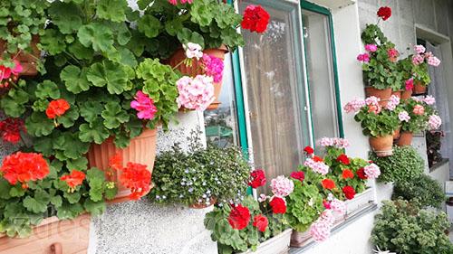 Geran_na_moem_balkone
