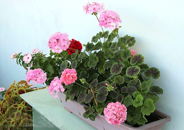 Самая популярная зональная герань, которая растет на балконе