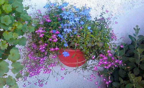 Kak vyrastit_lobeliu_na_balkone_iz_semyan