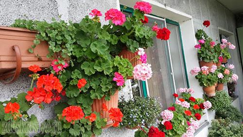 Geran_na_balkone
