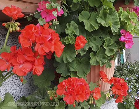 Tsvety-na-balkone-soalnechnaya-storona