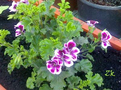 Какие цветы посадить на северном балконе