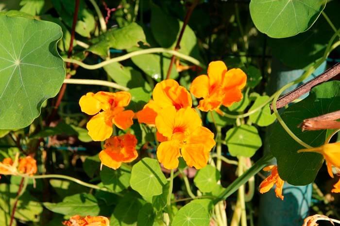 Настурция цветы для балкона на солнечной стороне