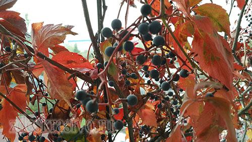 Ягоды дикого винограда