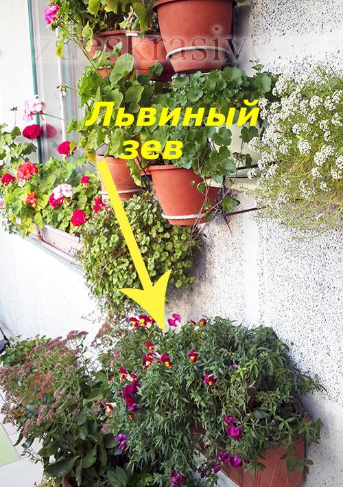 lviny_zev_na_solnechnom_balkone