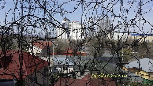 devichiy_vinograd-vesna