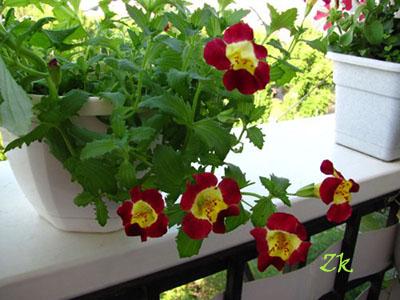 цветы на северном балконе