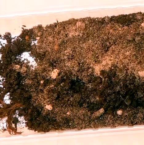 В каком грунте вырастить розмарин из семян