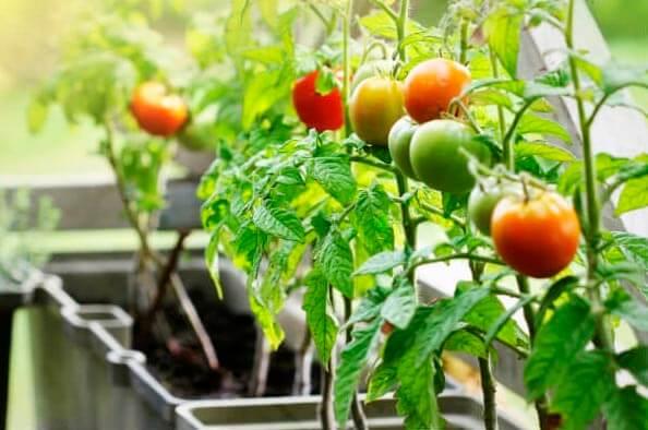Ogorod_na_balkone_pomidory