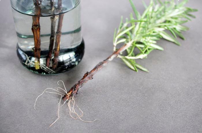 Выращивание корешков на веточках розмарина в воде