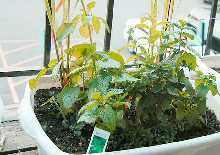 Выращивание мелиссы на балконе
