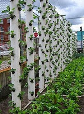 Выращивание клубники на балконе1