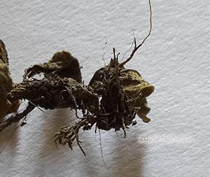 Корешок петунии высох: почему сохнет петуния