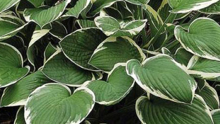 hosta-fortunei-francee