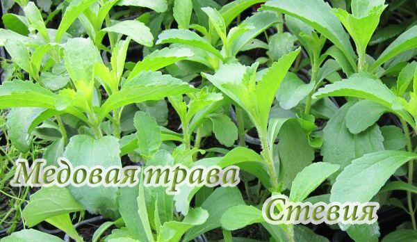 stevia-rebaudiana