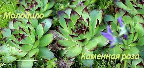 Kamennaya_roza (molodilo)