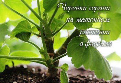 Cherenki_gerani_v_fevrale