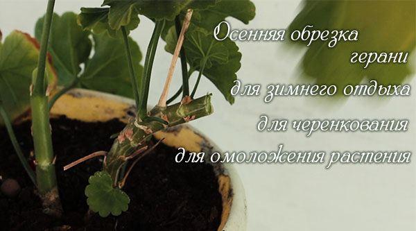 Obrezka_gerani_dlya_pyshnogo_cveteniya