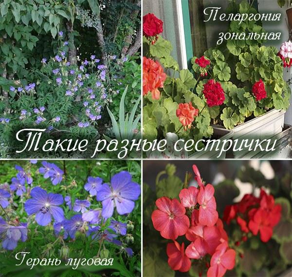 Pelargoniya_Geran_v_chem_raznitsa