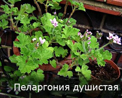 Pelargoniya_dushistaya