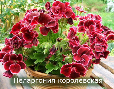 Pelargoniya_korolevskaya