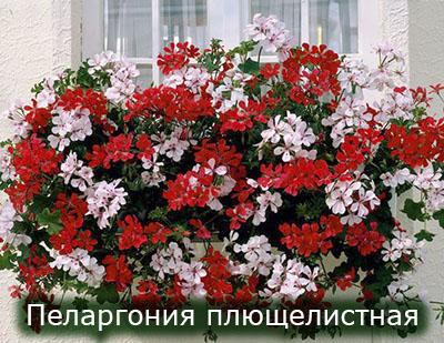Pelargoniya_pluchelistnaya