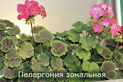 Pelargoniya_zonalnaya