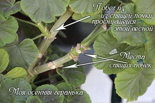 obrezka_gerani_osenu