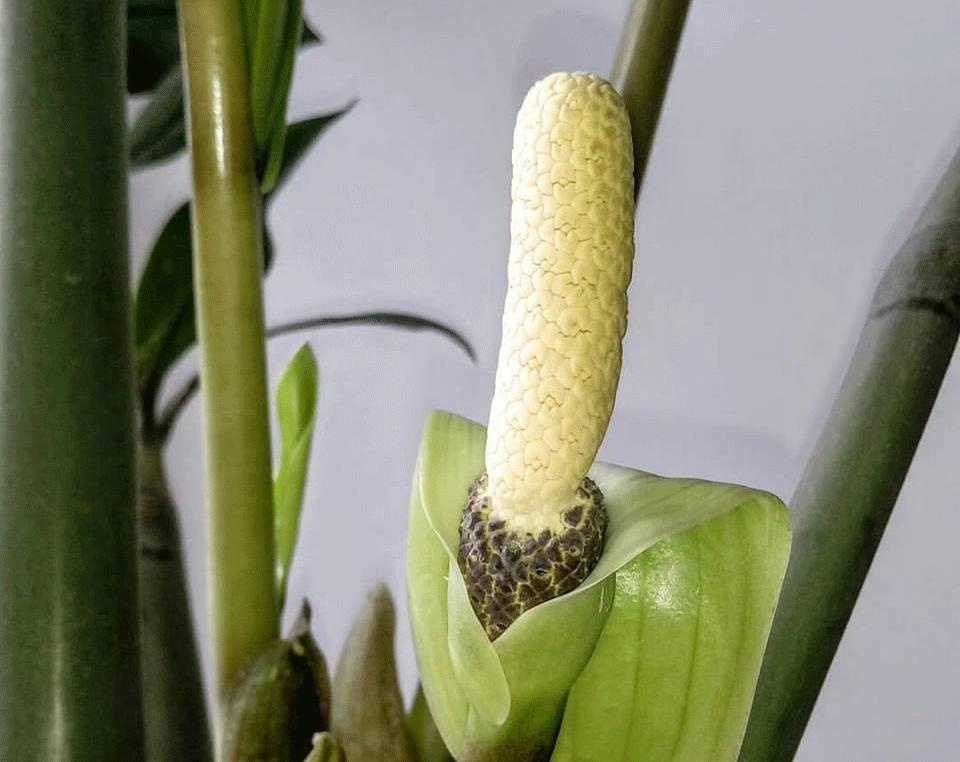 цветок замиокулькаса