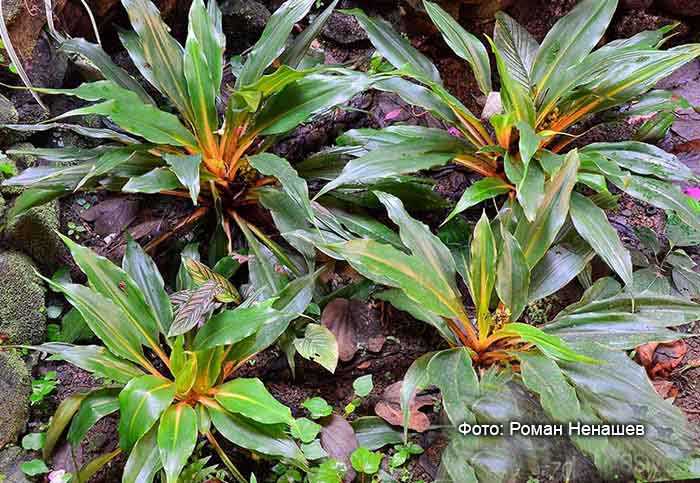 Хлорофитум оранжевый розетки
