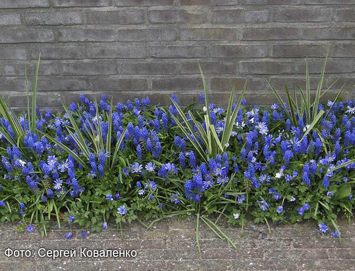 Голландские дворики садики и цветники. Мускари и анемона