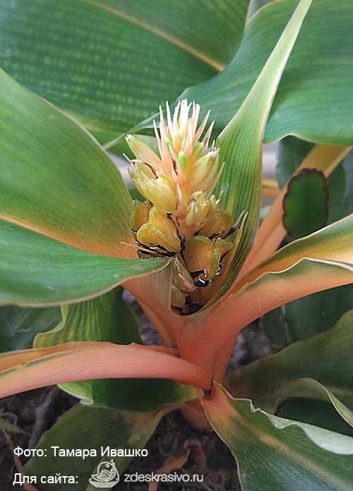 Семена «Green Orange»