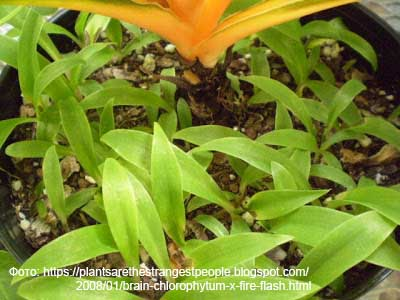 Хлорофитум оранжевый - сеянцы