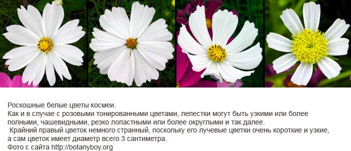 Космея дваждыперистая белого цвета