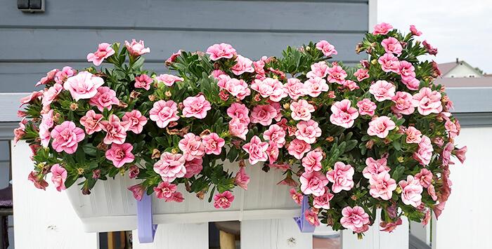 Калибрахоа на балконе Aloha Double Pink