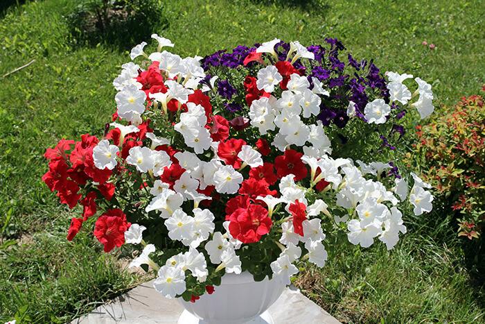 Микс из петунии Джолли разных окрасов  в вазоне