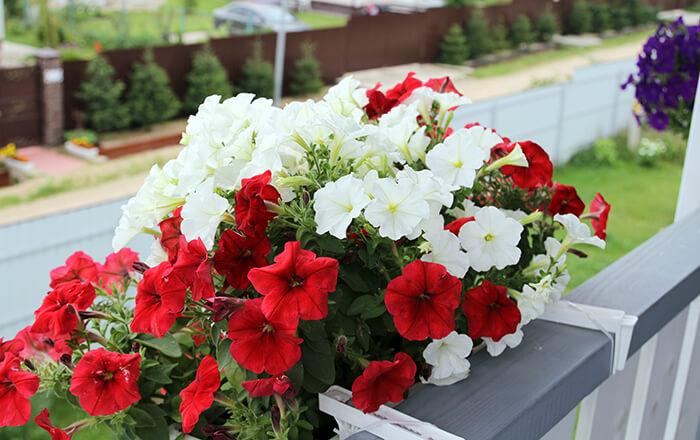 Выбор сорта петунии для балкона