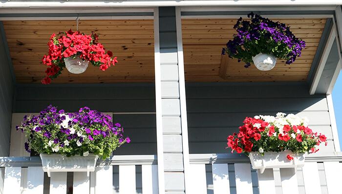 Выращивание красивых петуний на балконе