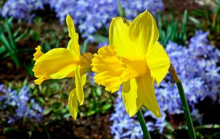 Нарциссы — пасхальные цветы