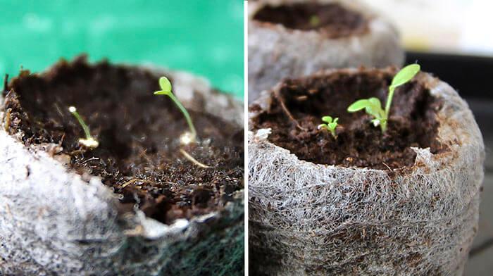 Разница в росте ростков