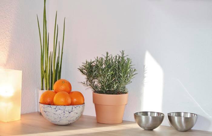 Как вырастить розмарин на кухне