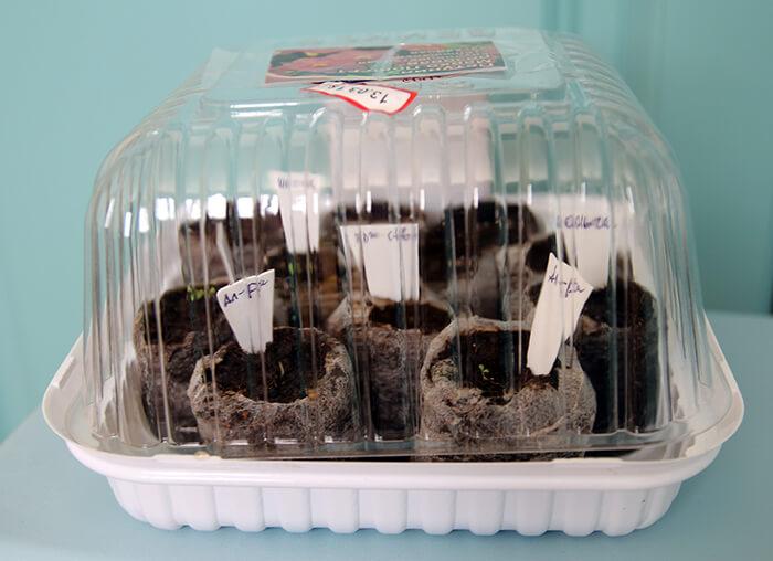 Для ухода за рассадой удобно использовать упаковки от тортов