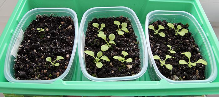 Как ухаживать за рассадой петунии после посева — петуния через 3 недели после посева