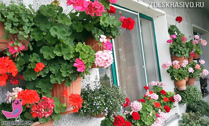 Какая герань растет на балконе — на фото зональная герань на балконе автора статьи