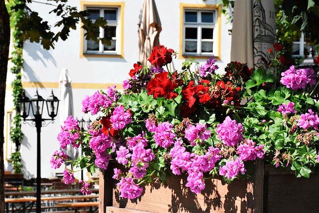 Какая герань растет на балконе — герань плющелистная