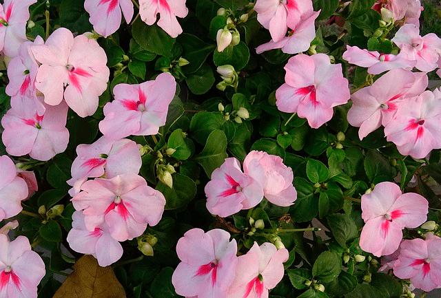 На картинке бальзамин — иллюстрация к статье «Какие цветы посадить на северном балконе»