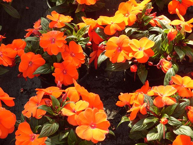 Какие цветы растут на северном балконе — ново гвинейские бальзамины