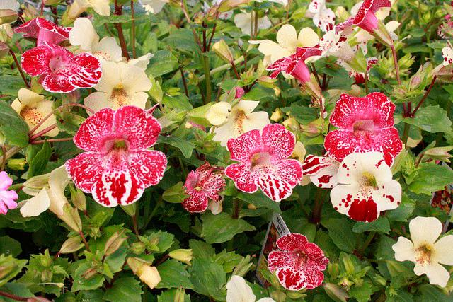 Мимулюс, если думаете какие цветы посадить на северном балконе