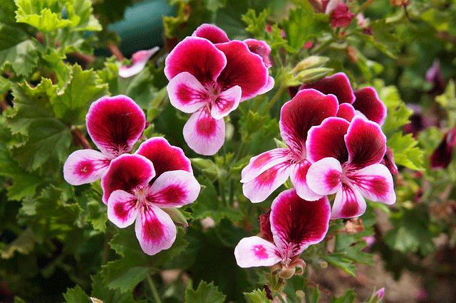 Пеларгония (герань) Ангел — отлично цветет на северном балконе